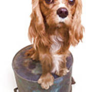 King Charles Spaniel Puppy Poster by Edward Fielding
