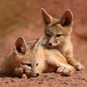 Kit Fox Pups On A Lazy Day Poster by Max Allen