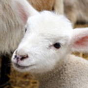 Lamb Poster by Michelle Calkins