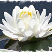 Large Water Lily With White Border Poster by Carol Groenen