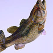 Largemouth Bass Side Profile Poster by Corey Ford