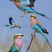 Lilac-breasted Roller Collage Poster by Basie Van Zyl