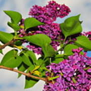 Lilacs Poster by Catherine Reusch  Daley