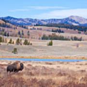 Lone Bull Buffalo Poster by Cindy Singleton