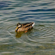 Lone Duck Swimming On A River Poster by Todd Gipstein