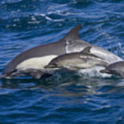 Long-beaked Common Dolphins, Delphinus Poster by Ralph Lee Hopkins