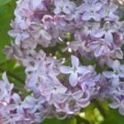 Lovely Lilacs Poster by Anna Villarreal Garbis
