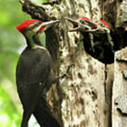 Male Pileated Woodpecker At Nest Poster by Mircea Costina Photography