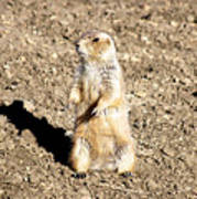 Mean Old Prairie Dog Poster by Christopher Wood