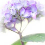 Misty Hydrangea Flower Poster by Jennie Marie Schell