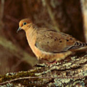 Mourning Dove At Dusk Poster by Amy Tyler
