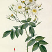 Musk Rose Poster by Pierre Joseph Redoute