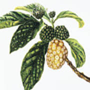 Noni Fruit Poster by Hawaiian Legacy Archive - Printscapes