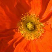 Orange Poppy Flower Poster by Julia Hiebaum