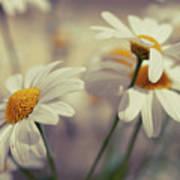 Oxeye Daisy Flowers Poster by Haakon Nygård