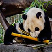 Panda Bear Poster by Robert Bales