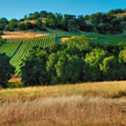Paso Robles Vineyard Poster by Steven Ainsworth