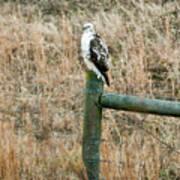Perched Hawk Poster by Douglas Barnett