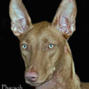 Pharaoh Hound Poster by Larry Linton