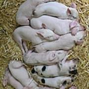 Piglets Poster by Rebecca Richardson