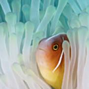 Pink Skunk Clownfish Poster by Liquid Kingdom - Kim Yusuf Underwater Photography