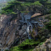 Point Lobos Veteran Cypress Tree Poster by Charlene Mitchell