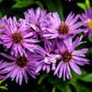 Purple Aster Blooms Poster by John Haldane