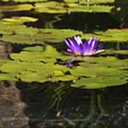 Purple Water Lilly Distortion Poster by Teresa Mucha
