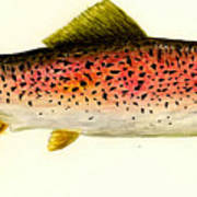 Rainbow Trout Poster by Michael Vigliotti