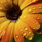 Rainy Day Daisy Poster by Thomas R Fletcher