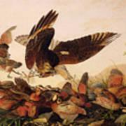 Red Shouldered Hawk Attacking Bobwhite Partridge Poster by John James Audubon