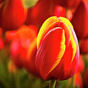 Red Tulip Poster by Tamyra Ayles