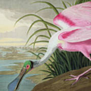 Roseate Spoonbill Poster by John James Audubon