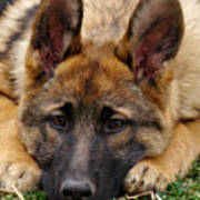 Sable German Shepherd Puppy Poster by Sandy Keeton