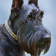 Scottish Terrier Dog Poster by Jennie Marie Schell
