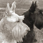 Scottish Terrier Dogs In Sepia Poster by Jennie Marie Schell