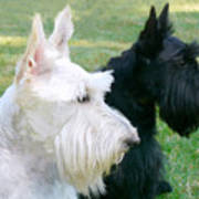 Scottish Terrier Dogs Poster by Jennie Marie Schell