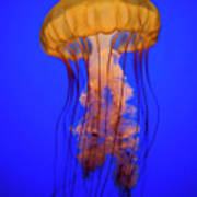 Sea Nettle Jellyfish (chrysaora Quinquecirrha) In An Aquarium Poster by Patrick Strattner