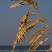 Sea Oats At Hunting Island State Park Poster by Anna Lisa Yoder