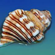 Seashell Wall Art 1 Poster by Kaye Menner