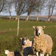 Sheep, Lake District, Cumbria, England Poster by John Short