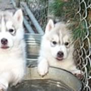 Siberian Husky Puppies Poster by Jean Gugliuzza