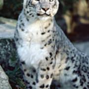 Snow Leopard Uncia Uncia Portrait Poster by Gerry Ellis