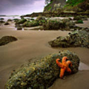 Starfish On The Rocks Poster by Inge Johnsson