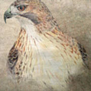 Study Of The Red-tail Hawk Poster by Leslie M Browning