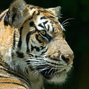 Sumatran Tiger Poster by Mary Lane
