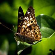 Sunlit Butterfly Poster by Karen M Scovill