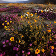 Sunrise On Desert Wildflowers Poster by Tim Laman