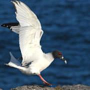 Swallow Tailed Gull Landing Poster by Alan Lenk
