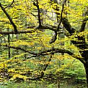 Swamp Birch In Autumn Poster by Thomas R Fletcher